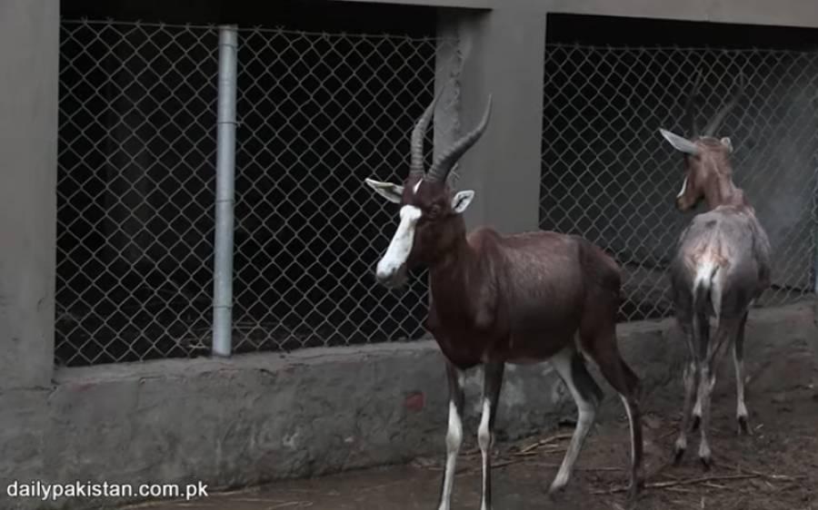 وہ شہری جس نے نایاب ترین ہرن پال رکھے ہیں جو پورے پاکستان میں کہیں دستیاب نہیں