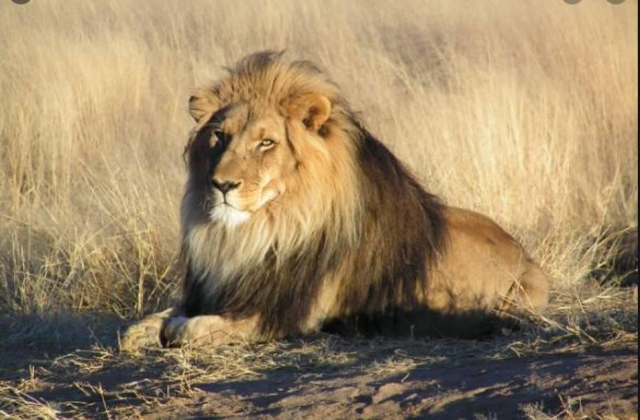 شیر نے اپنی نگہبانی پر مامور 16 سالہ لڑکی پر ہی حملہ کردیا