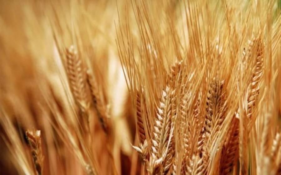 گندم کی بڑی کھیپ پاکستان پہنچ گئی،آٹے کی قیمت میں کمی آنا شروع