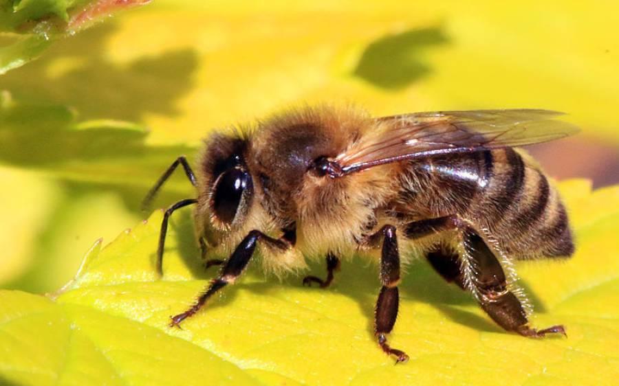 شہد کی مکھی کے ذریعے کینسر کا علاج، سائنسدانوں کی تازہ تحقیق نے سب کو حیران کردیا