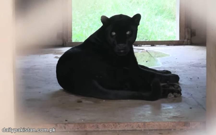 پاکستان کی واحد جگہ جہاں بلیک جگوار موجود ہے، ایک جانور کی قیمت کروڑ روپے سے بھی زیادہ