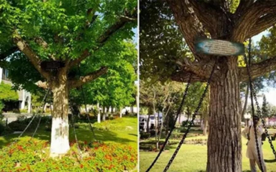 پاکستان کا وہ درخت جو پچھلے 122 سال سے زیر حراست ہے، آج تک کوئی ضمانت کروانے بھی نہ آیا