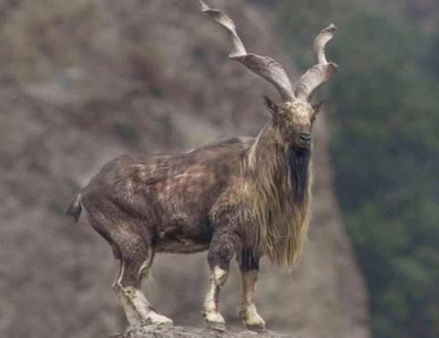 گلگت بلتستان میں مارخور کے شکار کے اجازت نامہ کی بولی ، پرمٹ کتنے میں نیلام ہوا؟ رقم اتنی کہ یقین کرنا مشکل