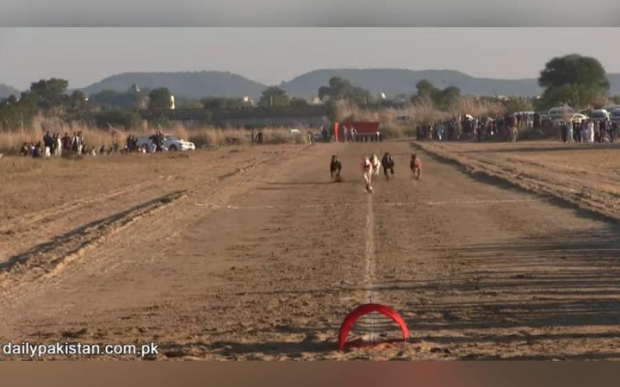 جہلم میں کتوں کی ریس، یہ انوکھا مقابلہ آپ بھی دیکھئے