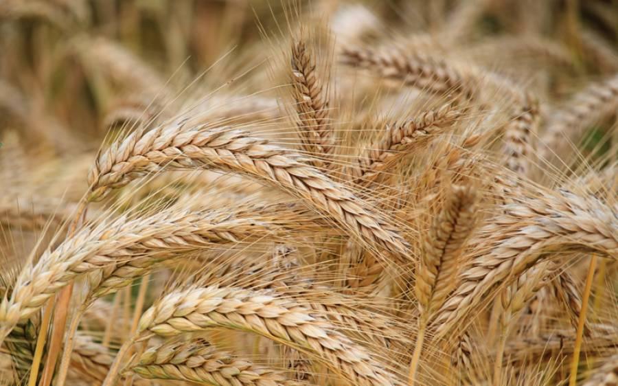 وفاقی حکومت گندم کی سرکاری قیمت خرید 1800 روپے فی من کرنے پر رضامند