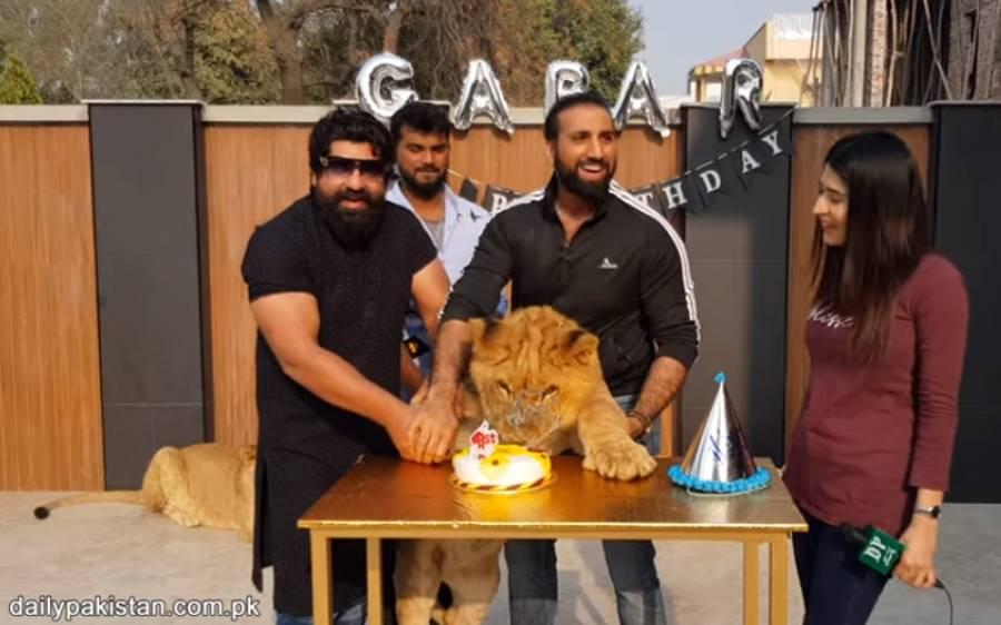 لاہور میں شیر کی سالگرہ، 2 بیویوں کا تحفہ بھی مل گیا
