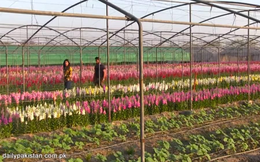 باہر سے لائے جانے والے پھول نوجوان پاکستان میں اگانے لگ گیا، مانگ اتنی کے لاکھوں روپے کمانے لگا
