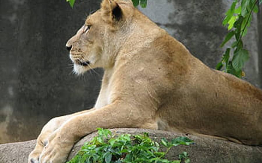 بھارت میں کورونا نے شیرنی کی جان لے لی