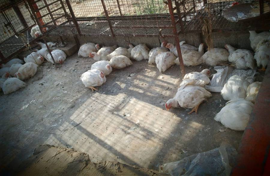 100 روپے سے زائد کی کمی کے بعد مرغی کا گوشت پھر مہنگا ہونا شروع ہوگیا