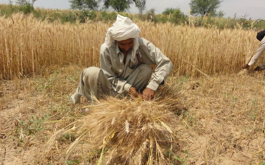 محکمہ خوراک پنجاب کا بڑا کارنامہ، گندم خریداری کا ہدف 105 فیصد حاصل کر دکھایا