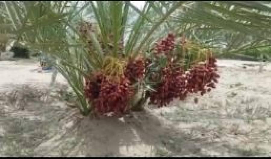صحرائے تھر کے کڑوے پانی سے باغ اگانے کا تجربہ کامیاب، درختوں نے پھل دینا شروع کردیا
