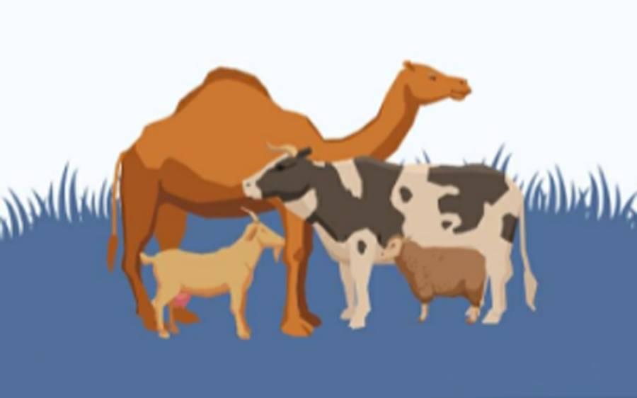 بکرمنڈی آن لائن ایپ کے ذریعے کتنے کروڑ کے جانور فروخت ہوئے؟جان کر آپ بھی مسکرا اٹھیں