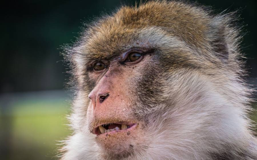 سینکڑوں بندر بیچ سڑک ایک دوسرے سے لڑ پڑے ، وجہ ایسی کہ آپ جان کر حیران رہ جائیں