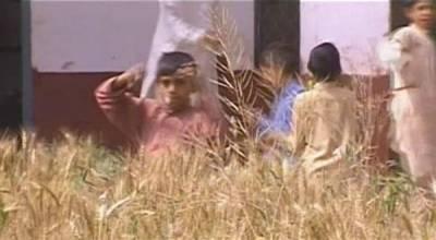 سکول میں گندم کی فصل کٹائی کے لیے تیار، دیواروں پر مکڑیوں کا مسکن