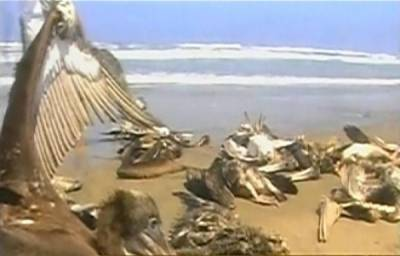 پیرو کے سمندرمیں سینکڑوں ڈولفن اورمچھلیاں مرگئیں