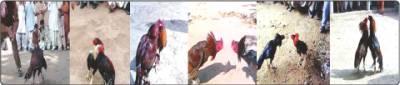 اندرون لاہورکے ڈھل محلہ، لوہاری گیٹ، شاہ عالم بازار میں دیسی مرغوں کی لڑئی کے مناظر