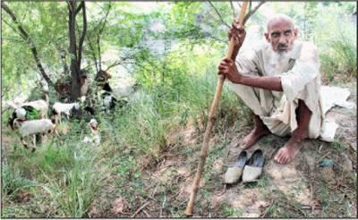 بزرگوں کے عالمی دن کے موقع پرایک معمر شخص بکریاں چرارہاہے