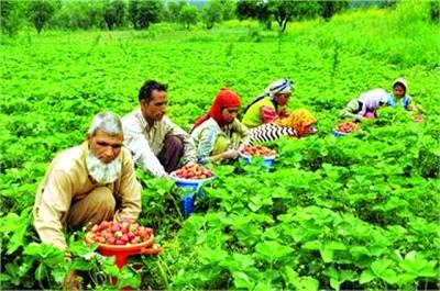دہلی: ایک مضافاتی علاقے میں کسان کھیتوں سے ٹماٹراکھیڑکر جمع کررہے ہیں