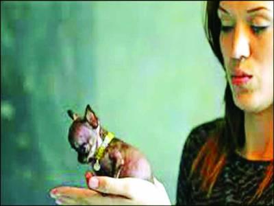 سین جوآن،دنیا کا سب سے چھوٹی جسامت کا کتا