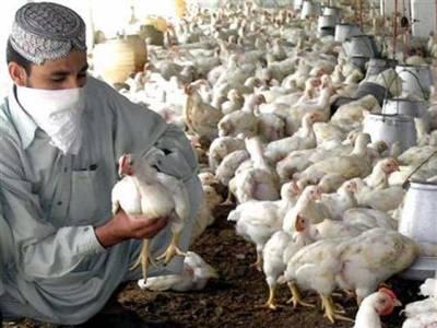 سندھ پولٹری ایسوسی ایشن نے مرغی 20روپے فی کلوگرام کم کردی