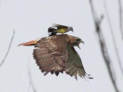 چڑیا نے عقاب پر حملہ کردیا