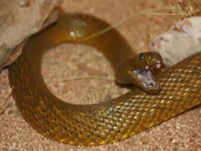 دنیا کا زہریلا ترین سانپ