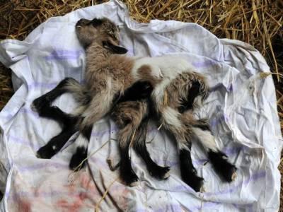 آٹھ ٹانگوں والے بکری کے بچے نے کسان کے ہوش اڑا دئیے