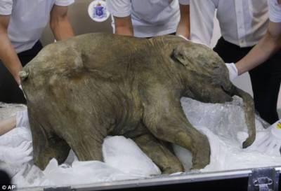 عظیم ہاتھی کو دوبارہ پیدا کرنے کی تیاریاں