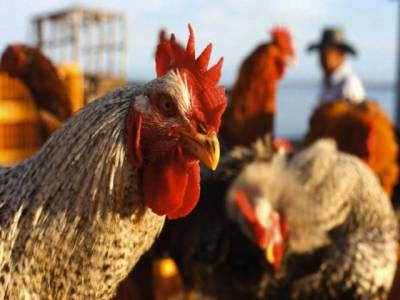 مرغیاں بہرے پن کے علاج میں بھی مددگار