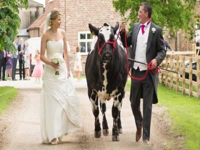 کسان کی گائے کی موجودگی میں شادی