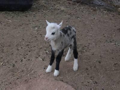 بکرے اور بھیڑ کے ملاپ سے پیدا ہونے والا نیا جانور