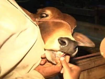 کم عمر جانور بیچنے والے دھوکے باز بیوپاری دھرلیے گئے