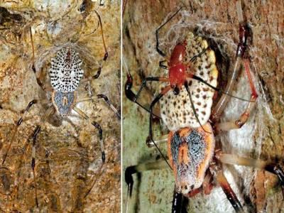 یہ مکڑا جنسی عمل کے بعد خود کو نازک حصے سے محروم کیوں کردیتا ہے؟ سائنسدانوں نے معمہ حل کرلیا، حیرت انگیز انکشاف