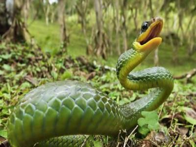 سانپ کاٹ لے تو کیا کرناچاہیے ، مفید مشورے