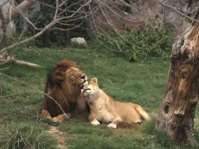 بھارت میں گائے کے گوشت پر پابندی سے چڑیا گھروں کے شیر، چیتے، برائلر مرغی کھانے پر مجبور، کئی بیمار