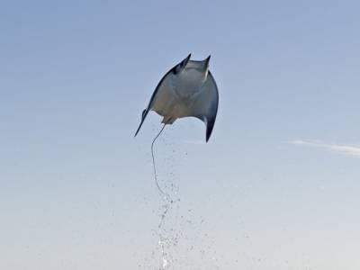 اڑنے والی مچھلی جس نے سائنسدانوں کو بھی چکرا کر رکھ دیا
