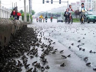 چین میں ہزاروں مینڈک سڑکوں پر آگئے