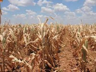 فصلوں پر ٹڈی دل کا حملہ،800 ایکڑ پر کھڑی فصلوں کا صفایا