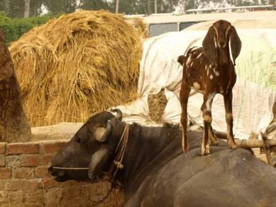 نسل ختم ہونے کا خدشہ ، پنجاب حکومت نے حلال گوشت والے مادہ جانوروں کو ذبح کرنے پر پابندی لگا دی