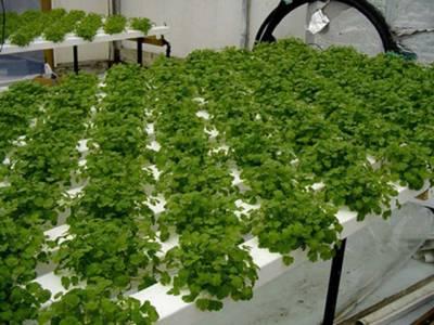 عرب ملک نے زراعت کی دنیا میں تہلکہ برپا کردیا، سبزیاں اگانے کا ایسا طریقہ دریافت کرلیا جو ہم نے کبھی سوچابھی نہ تھا