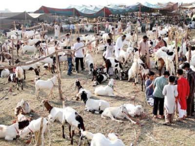 کانگو بخار مویشیوں اور اونٹ کی جلد میں پرورش پانے والے چیچڑ کے کاٹنے سے پھیلتا ہے' بیوپاری اور خریدا رمحتاط رہیں: محکمہ صحت