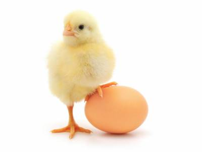 انڈہ پہلے آیا یا مرغی ،معمہ حل ہوگیا