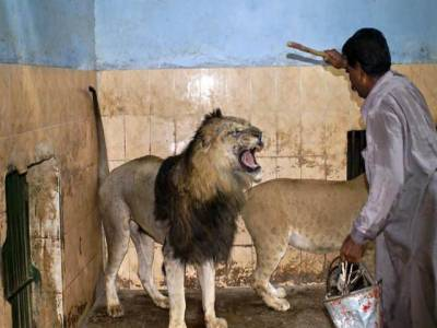 بہاولپور چڑیا گھرمیں شیروں نے خوراک ڈالنے والے اہلکار پر حملہ کردیا