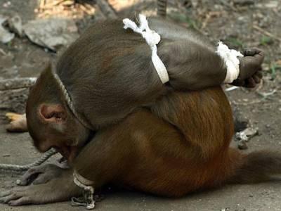 اس بندر کی یہ حالت کیوں اور کس نے کی؟ جان کر آپ بھی ہنسے بغیر نہ رہ پائیں گے 