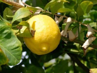 یہ ایک لیموں 61 ہزار روپے میں فروخت کیا گیا، اس کی خاصیت کیا ہے؟ جان کر آپ کیلئے بھی یقین کرنا مشکل ہوجائے گا