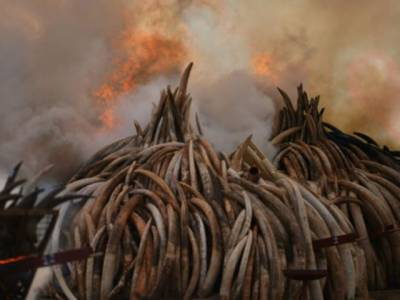 کینیا میں 100 ٹن ہاتھی دانت نذر آتش