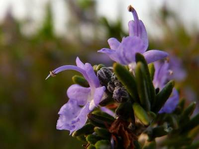 ایک پودا جسے سونگھ کر آپ اپنی یادداشت کو دْگنا کرسکتے ہیں