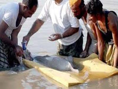 ڈہرکی : مقامی افراد نے نرلی نہر میں آنے والی نایاب نسل کی ڈولفن مار ڈالی
