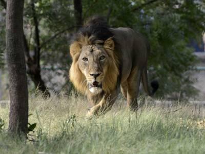 پہلی مرتبہ تین شیروں کو عمر قید کی سزا سنادی گئی، مگر کس جرم میں؟ جان کر آپ کو بھی بے حد حیرت ہوگی