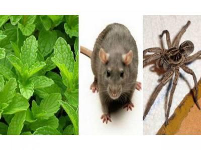 وہ ایک پودا جو آپ کے گھر میں موجود ہو تو چوہے، مکڑے اور دیگر خطرناک کیڑے مکوڑے کبھی بھول کر بھی داخل نہیں ہوں گے